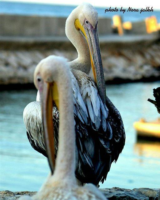 pelican birds sea birdlovers lebanoninpicture Livelovelebanon...