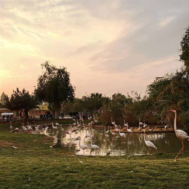 Run run Flamingo beautifuldestinations instatraveling instagood ... (Riyadh Zoo)