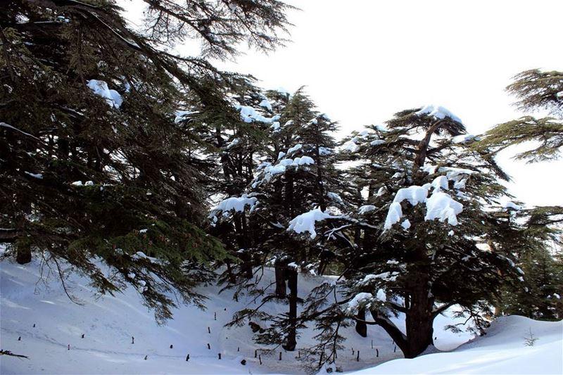 الأرز Lebanon winter arz instaleb noeffect awesome snow ...