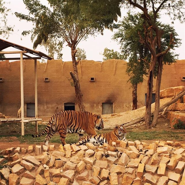 Tigers, they were very tired after a long day of entertaining people it... (Riyadh Zoo)