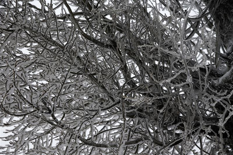 Tree branches covered by snow, in Mdeirej, east Lebanon. (Hussein Malla / AP)