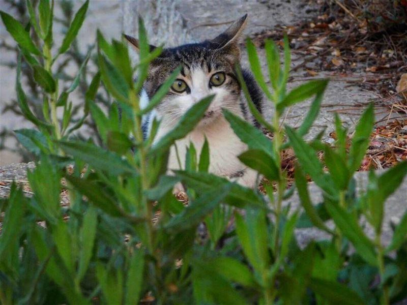 Picoftheday world lebanon mountain beirut surprised cat animal pet green...