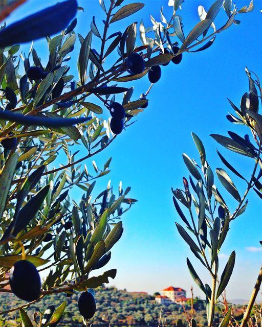 زيتون olives tree likeforlike instagram 20likes 40like nature ... (Niha Mountain)