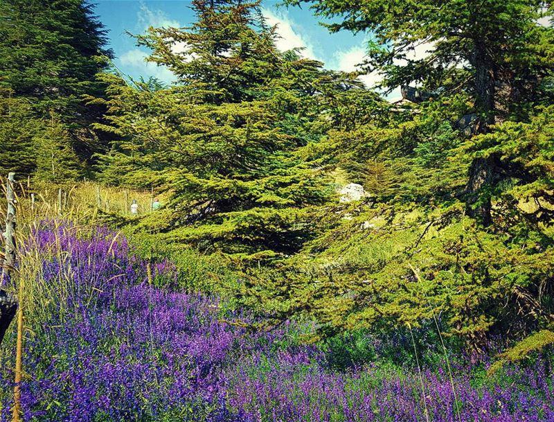 كلنا_للوطن (Cedars of God)