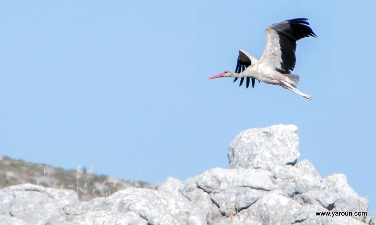 Stork (About Sa3d) From Yaroun