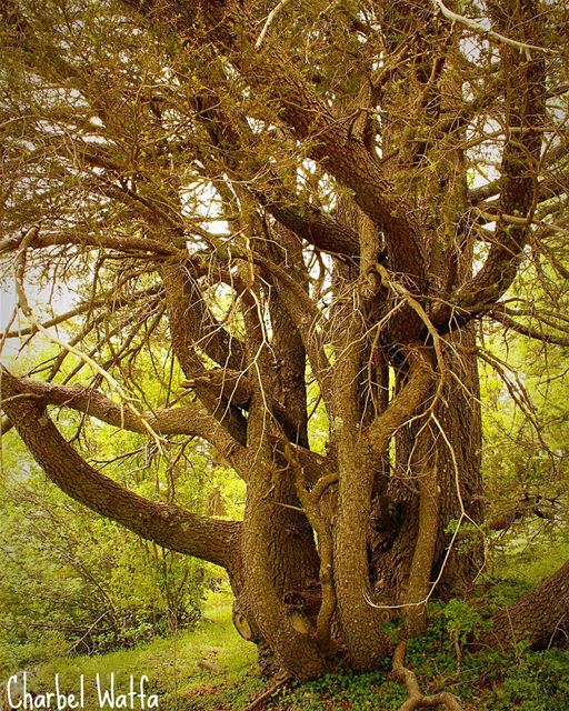 Aged tree of Lebanon trees nature green decades ages centuries ...