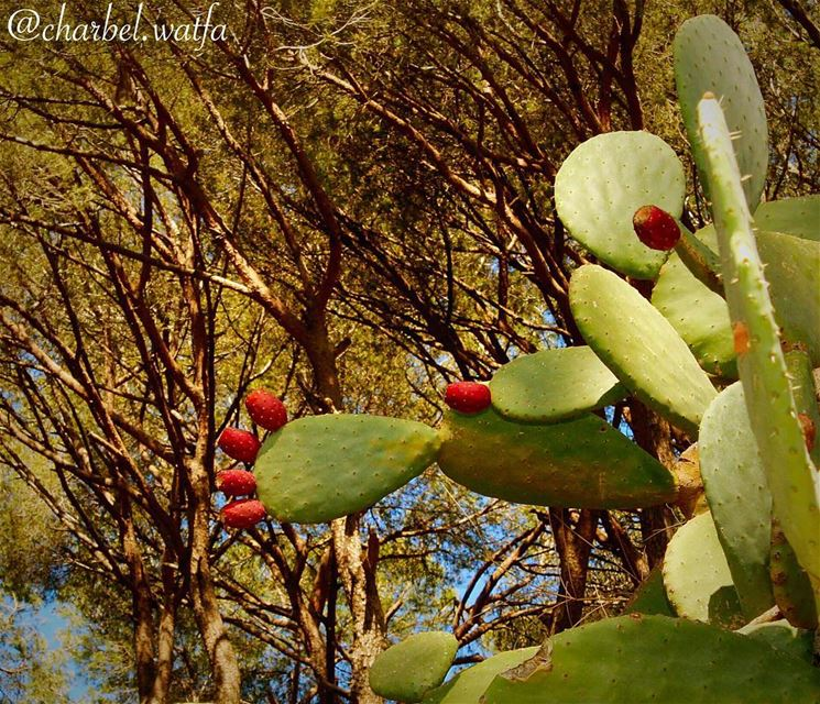 Cactus of  Lebanon fruit  fruits  nature  sky  sun  summer  flowers ...