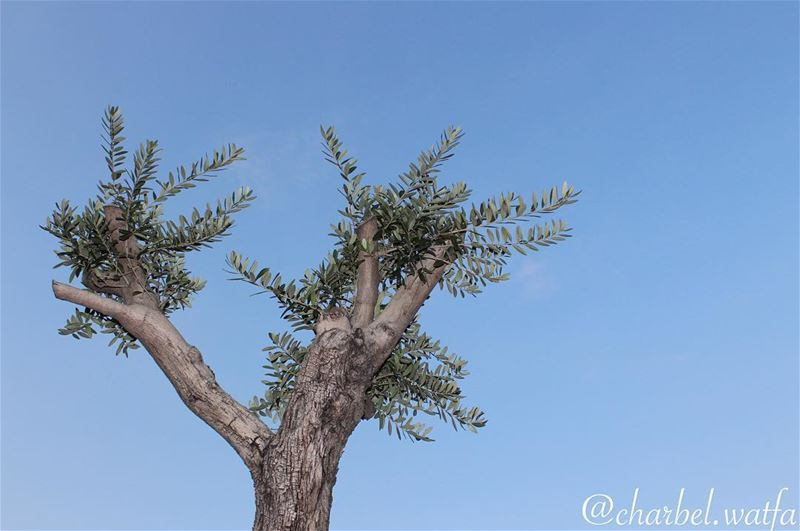 Symbol of strength longevity and of course pure Lebanese olive tree...