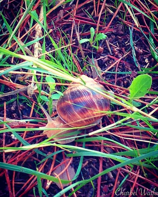 Snail in the forest of Broumana snails grass greenery ground ... (Ouyoun Broumana)