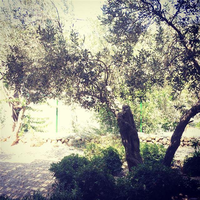 Lebanese olive tree livelovelebanon arbre árbol olives aceitunas...