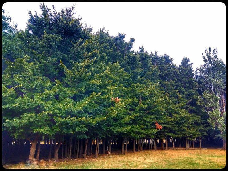 ammiq ammiqreserve bekaa westbekaa lebanon trees greenery nature ... (`Ammiq, Béqaa, Lebanon)