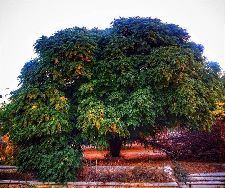 baakline chouf mountlebanon lebanon tree nature naturelovers ... (Baakline, Mont-Liban, Lebanon)
