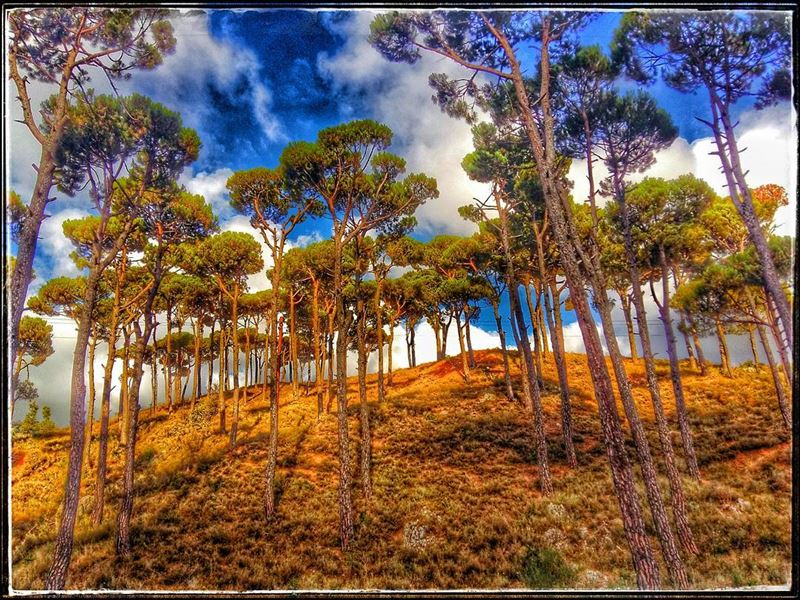 trees  nature  naturelovers  naturephotography  standingtall  gianttrees ... (Bâroûk, Mont-Liban, Lebanon)