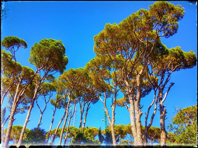nature pine cedars trees greenish bluesky highland baakline ... (Baakline, Mont-Liban, Lebanon)