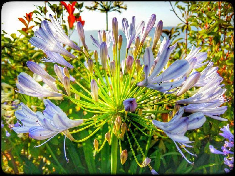 flower violet greenish nature blossom blossoming spring lebanon ...