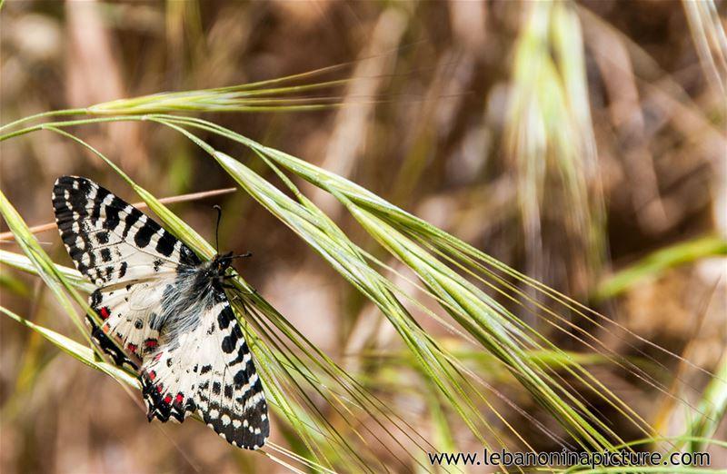 Butterfly in Janet Qartaba