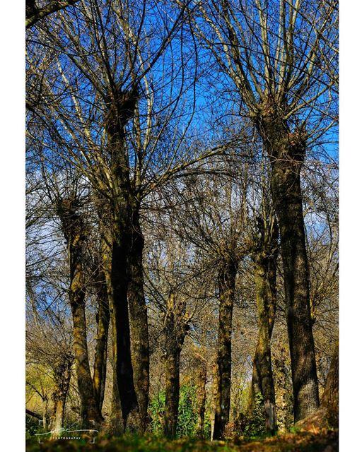 Giant trees touching thd blue sky.🌳 🌳 (Deïr Taanâyel, Béqaa, Lebanon)