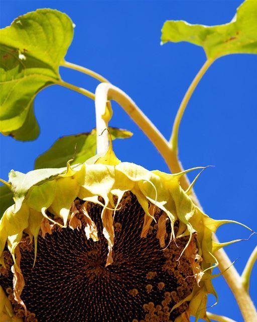 sunflower contrast naturelovers ...