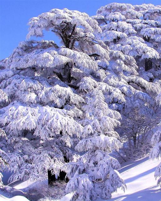 Foto atual de um autêntico cedro do Líbano na reserva florestal de Arz, apó (Cedars of God)
