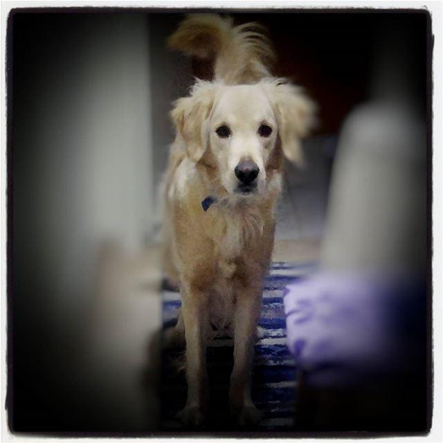 🐶 Woody hehasmyheart ♥ ilovemydog purelove goldenretriever ...