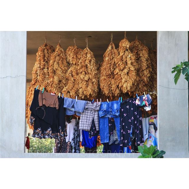 Drying Tobacco Leaves on Regie Contest regie tobacco dry beirut ... (Houla, Al Janub, Lebanon)