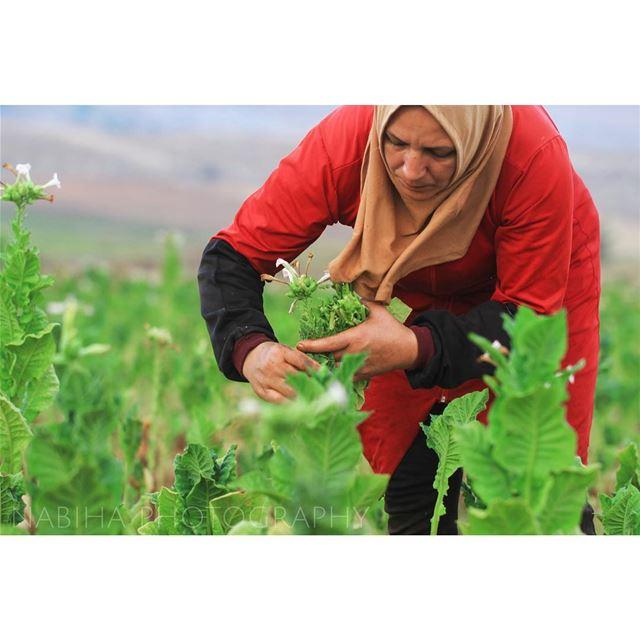 Harvesting the tobacco leafs: Regie Contest regie tobacco green ... (Houla, Al Janub, Lebanon)