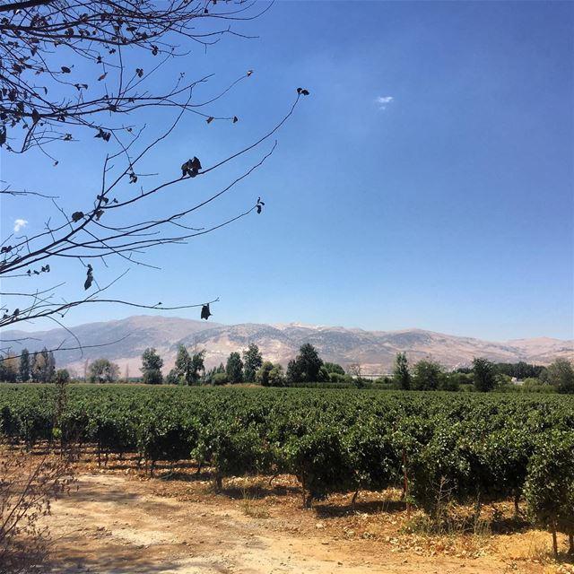 grapes field vino lebanon agriculture green ...