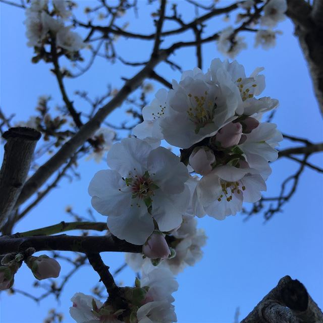 almond tree flowering flower Dalhoun Lebanon ...