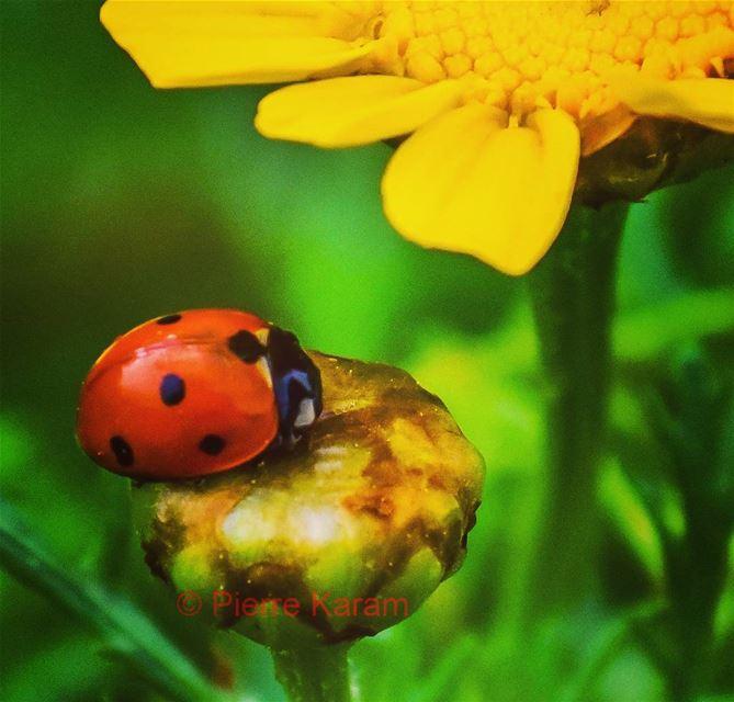 good_morning ladybug red yellow flower nature colorful nikon ...