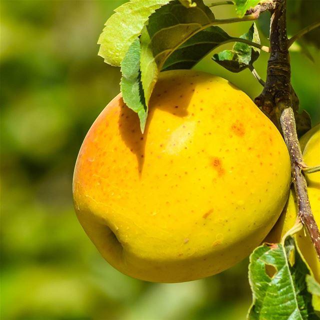 yellow apple lebanon lebanese mountains nature tasty mouthwatering...