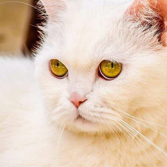 For all cat lovers white green eyes hd_lebanon ig_lebanon ...