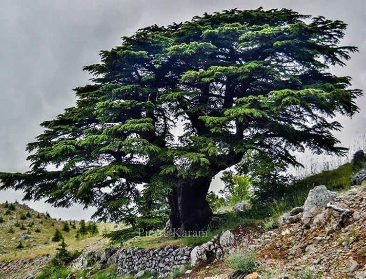 lebanese ceader tree barouk green nature mountain lebanon...