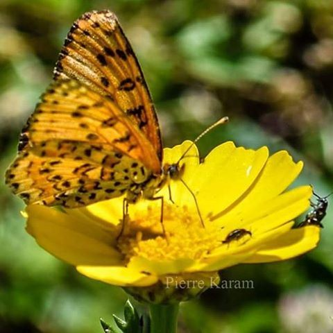 نءيلك احلا زهرا butterfly daisy orange yellow lebanon_hdr lebanon ...