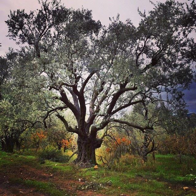 olive tree my nikon d5300 photooftheday instalike instabox ...