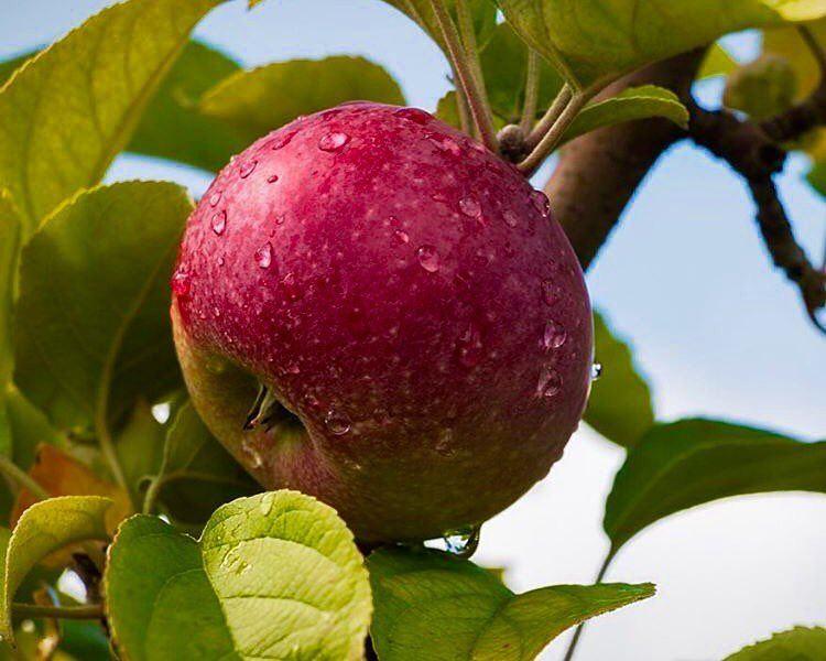 دعم_التفاح_اللبناني redapple fresh natureaddict fruits lebaneseapples... (Bsharri, Lebanon)