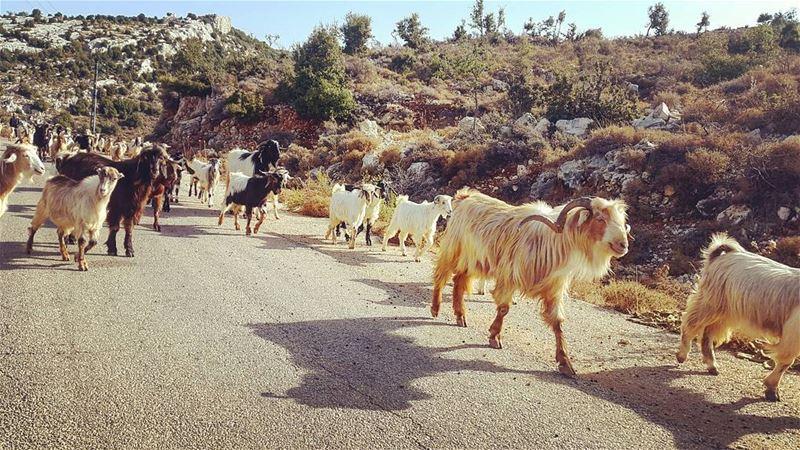 saturday morning animals lebanon ... (Bchaalé, Liban-Nord, Lebanon)
