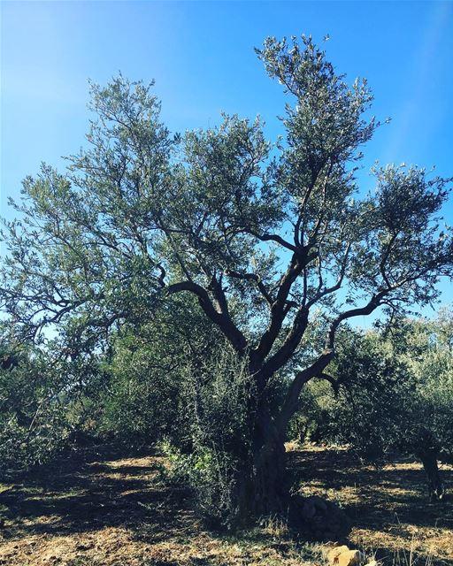 goodmorning lebanon nature olive 🌿🌳🌿 (البساتين - الجبل)