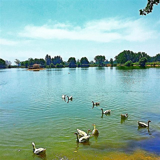 C'est la danse des canards lake duck nature blue sky scenery ... (Taanayel Lake)
