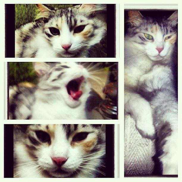 sleepy cat love cats animals kitty green eyes colors deams yawn...
