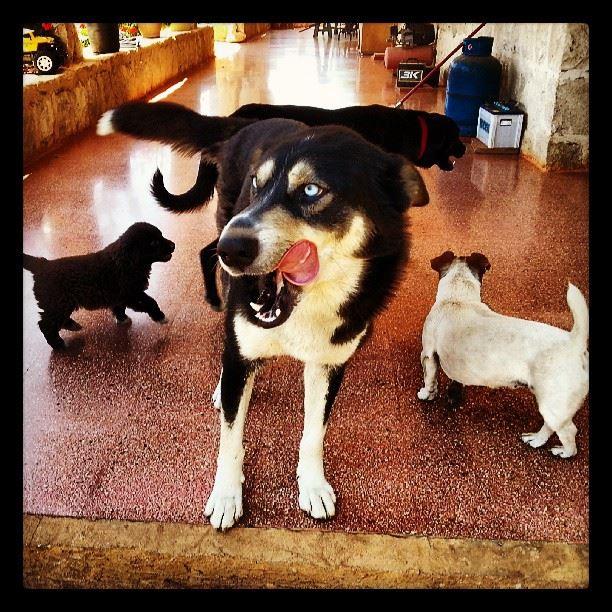 husky dogs Puppy BlueEyes cute love lebanon sunday ...