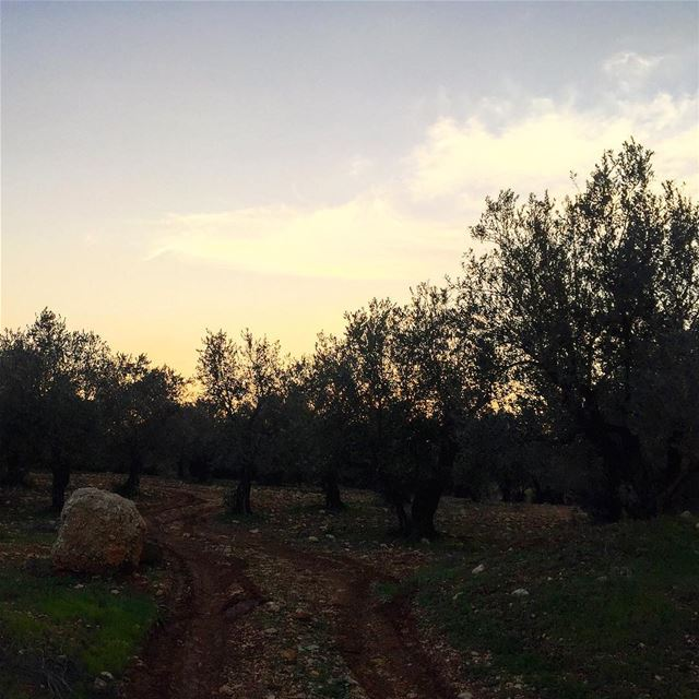 instamr instamood nature olive tree silence peace cold weather lebanon...