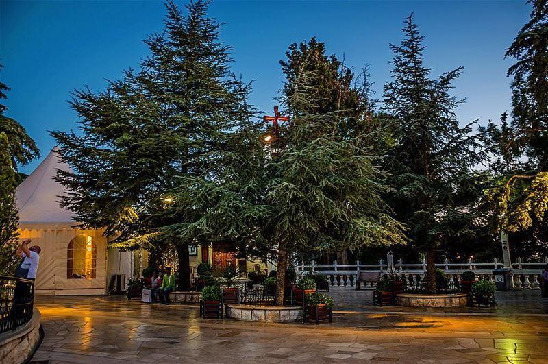 harissa trees lebanon ... (Harîssa, Mont-Liban, Lebanon)