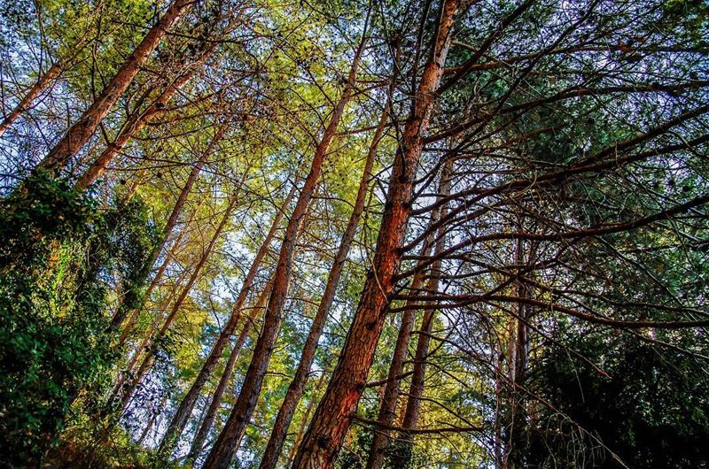 kartaba trees ... (Qartaba)