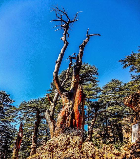 cedar tree bsharri ... (Bsharri, Lebanon)