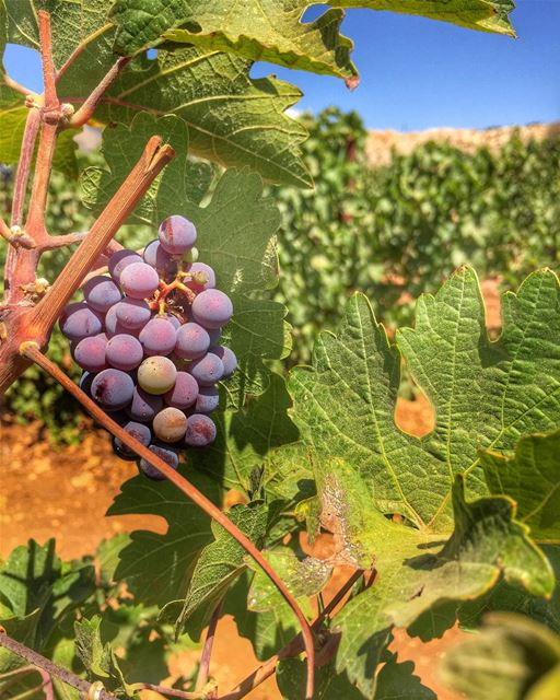 There are Good Days and there are Grape Days!! 🍇☘️ chateaukefraya ... (Château Kefraya - Plaine De Bekka)