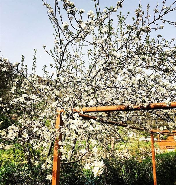 The kingbloom is out 🍎🍏 jalsat restaurant mayrouba faraya ... (Jalsat)