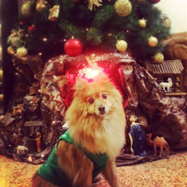 Hunter wishes you a Merry Christmas 🎄. hunter dog dogs dogsofinsta ... (Seukunian Palace)