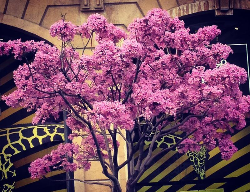 Lebanon Beirut mycitybeirut spring flowers ... (Beirut Down Town)