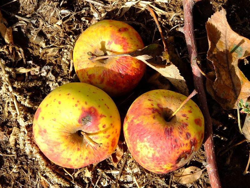 PROMAXSPORTS apple applepicking explorelebanon outdoorlebanon ...