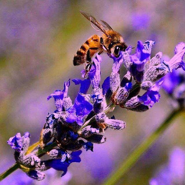 Honey of lavender ... Lebanon super_lebanon ig_lebanon nature_shooters... (Aramoun Keserwan)